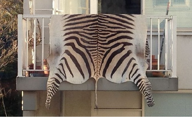 half of a Zebra rug in the Netherlands