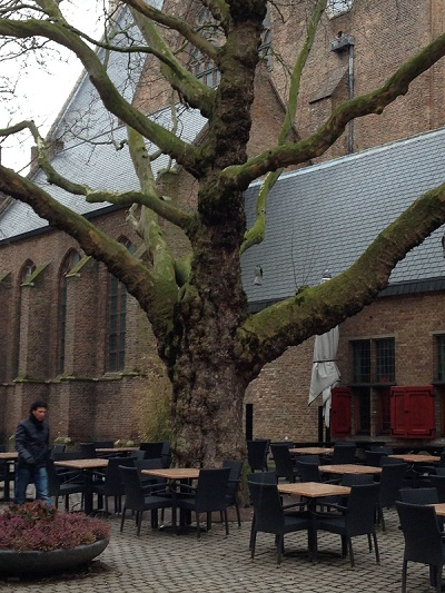 magnificent tree near Grote Kerk in The Hague 2