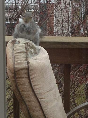 Squirrel patio chair killer 3