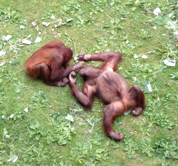 Orangutans at Dublin Zoo