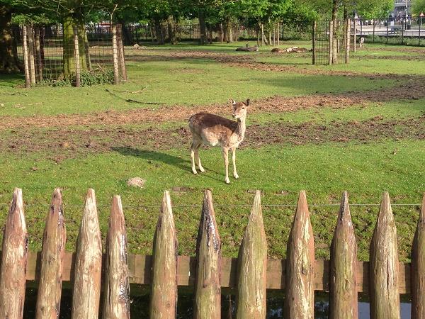 Deer at Maliveld Den Haag 2